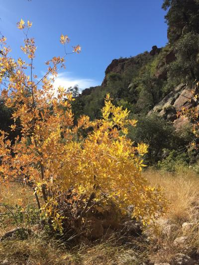 Sycamore in Full fall color in Gaan Canyon