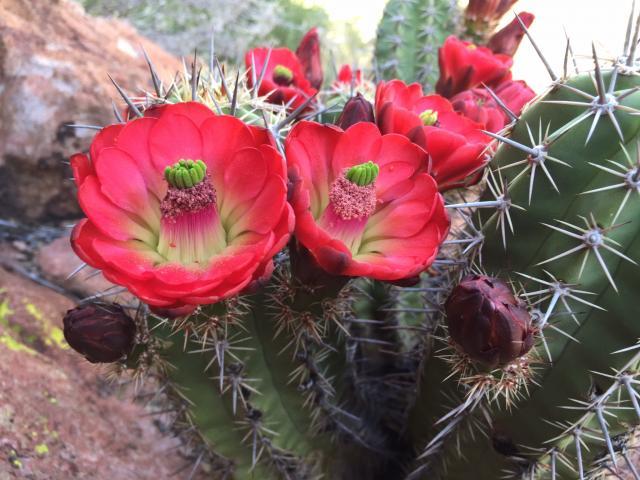 Endangered Arizona Hedgehog Cactus